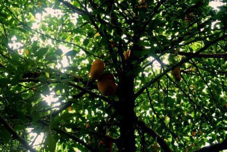 CP CH jackfruit 2