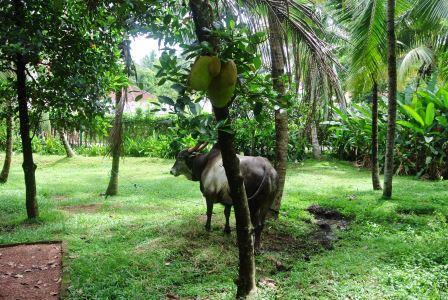 CP CH jackfruit bull