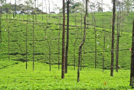 CP TH tea field 2