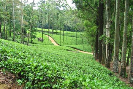 CP TH tea field 3