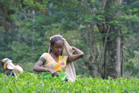 CP TH tea picker 5