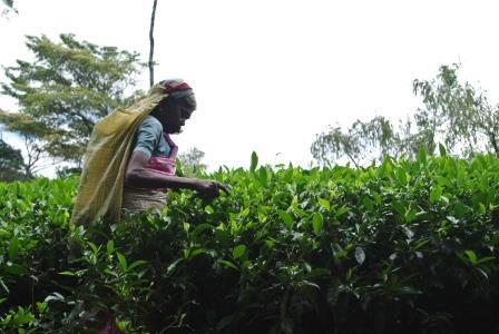 CP TH tea picker 6