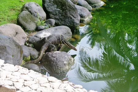 CP lizard