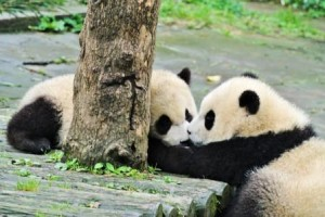chengdu babies kissing