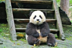 chengdu panda baby leaf