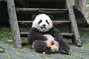 chengdu panda baby