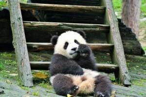 chengdu panda baby2