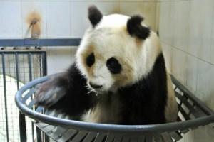 chengdu panda nest