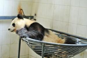 chengdu panda nest2