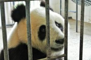 chengdu panda upclose